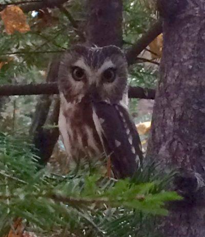 Tracking Minnesota's Owls - 4/7 @ Sugarloaf Cove Nature Center   Schroeder   Minnesota   United States